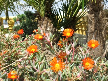 Bienvenue dans notre jardin m diterran en for Plante 5 doigts bahamas